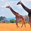 giraf-safari