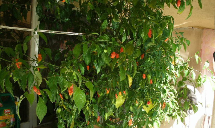 dyrk-chili